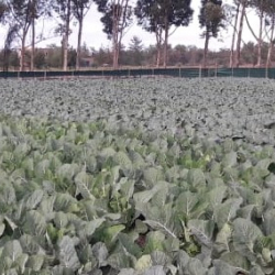 Cabbage In Field Uniformity