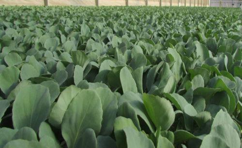 Cabbage Seedlings For Sale - Grafted Seedlings